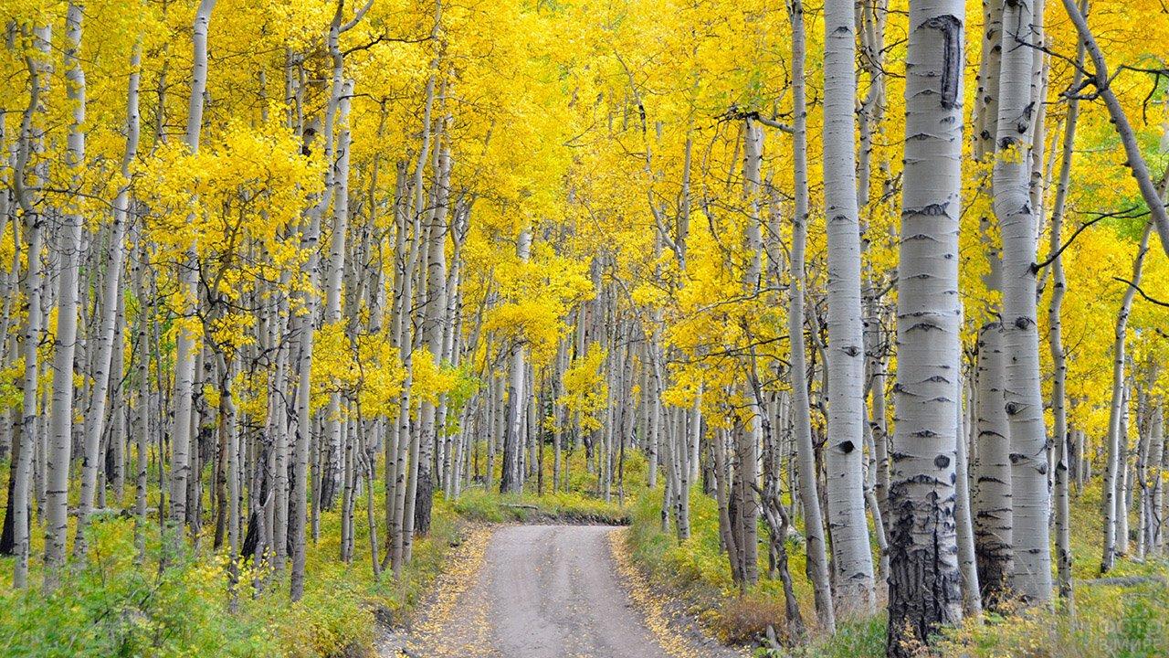 Дорога в осенней берёзовой роще