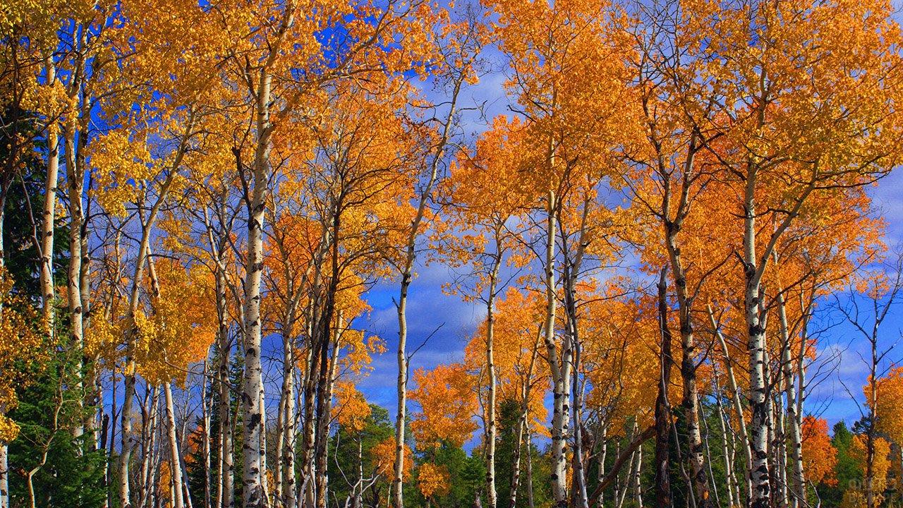 Ярко-оранжевые кроны берёз в осеннем лесу