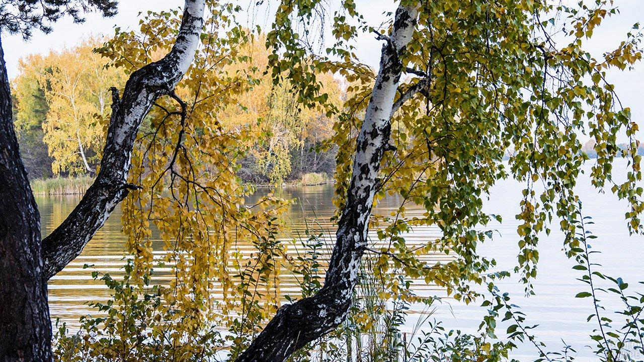 Лесная речка сквозь жёлтую листву берёз