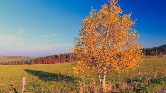 Молодая берёза с золотой кроной на фоне поля и лесистых холмов