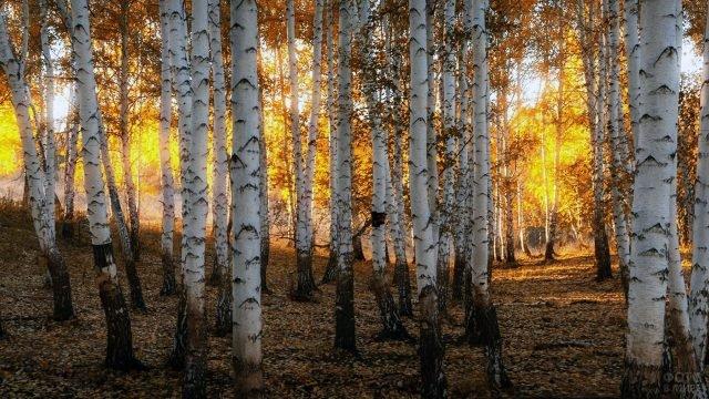 Солнечный свет пробивается сквозь жёлтую листву стройных берёз