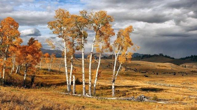 Старые берёзы в осенних полях под пасмурным небом