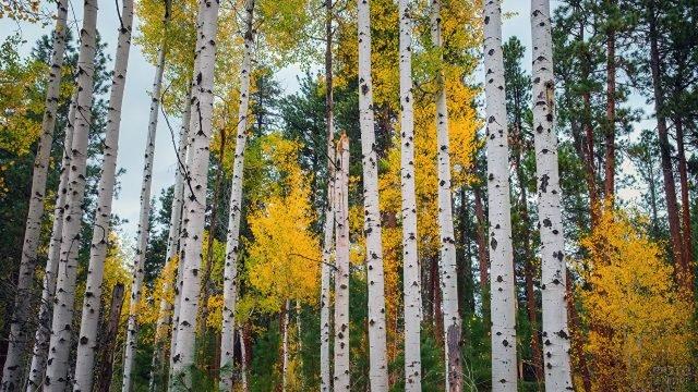 Стройные берёзки и сосны в осеннем лесу