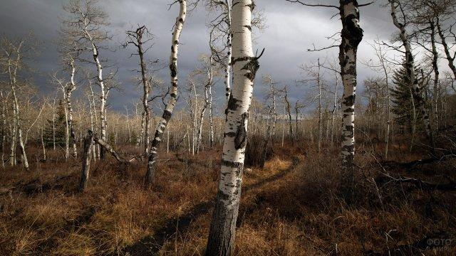 Тропа через болото в осеннем берёзовом лесу