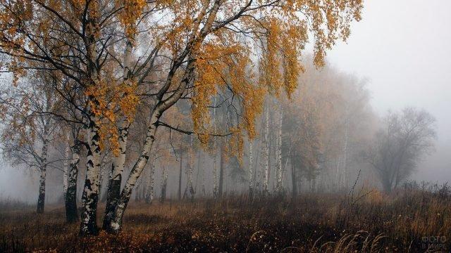 Туманное осеннее утро в берёзовой роще