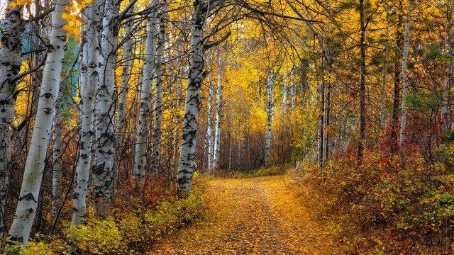 Усыпанная листовй дорога в берёзовой аллее