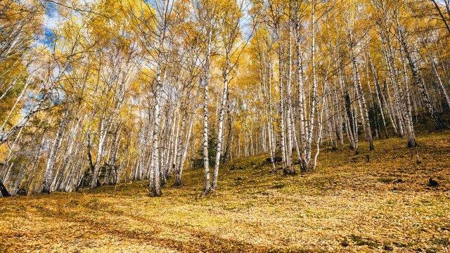 Усыпанный листьями склон холма в осенней берёзовой роще