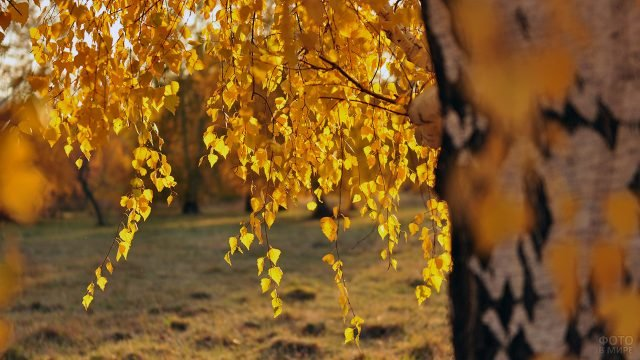 Ветка берёзы с осенними листьями крупным планом