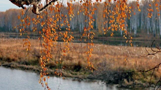 Жёлто-оранжевые берёзовые листья на ветке, склонившейся над рекой