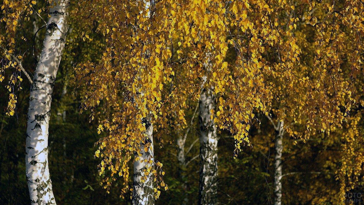 Жёлтые листья на ветках берёз ранней осенью