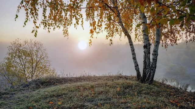 Золотая берёза на вершине холма ранним осенним утром