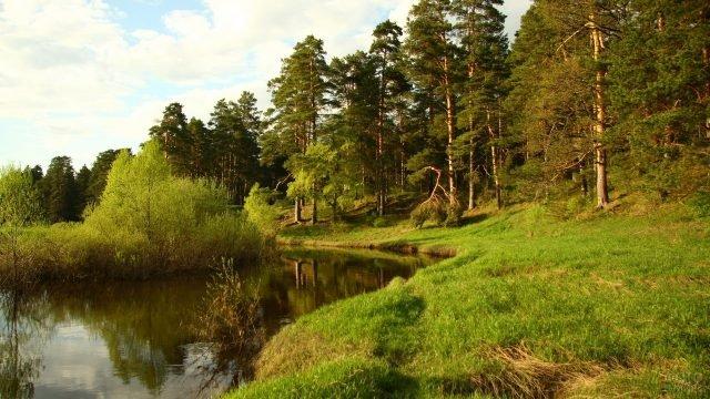 Сосновый лес и речка