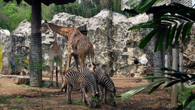 Зебры и жирафы в зоопарке Дусит в Бангкоке