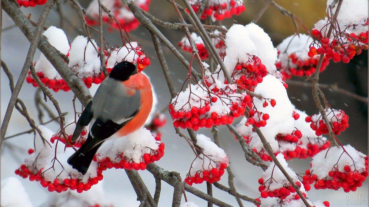 Снегирь обедает среди заснеженных гроздьев спелой рябины