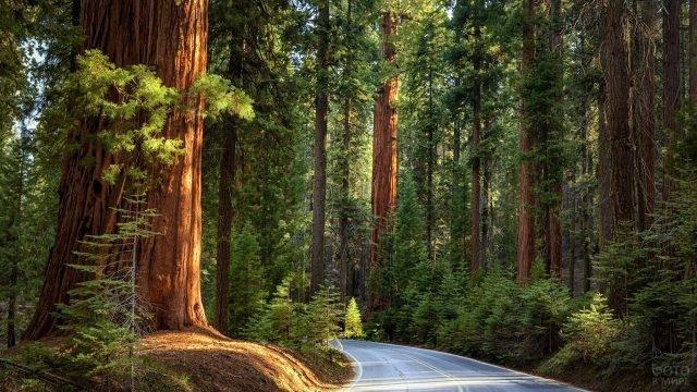 Автотрасса сквозь реликтовый кедровый лес