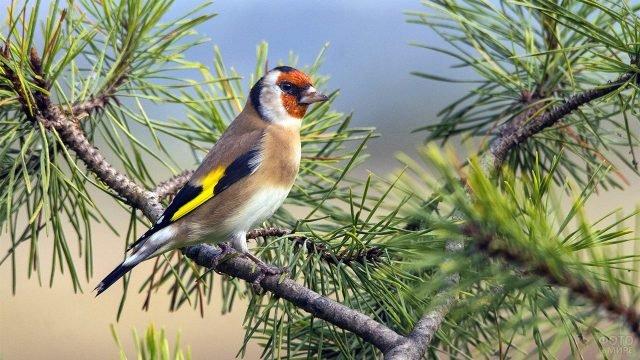 Яркая лесная птица на сосновой ветке