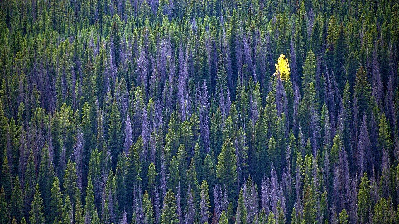 Ярко-жёлтое дерево в осеннем хвойном лесу с высоты птичьего полёта