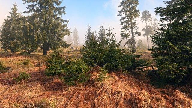 Пихты в сосновом лесу ранним осенним утром