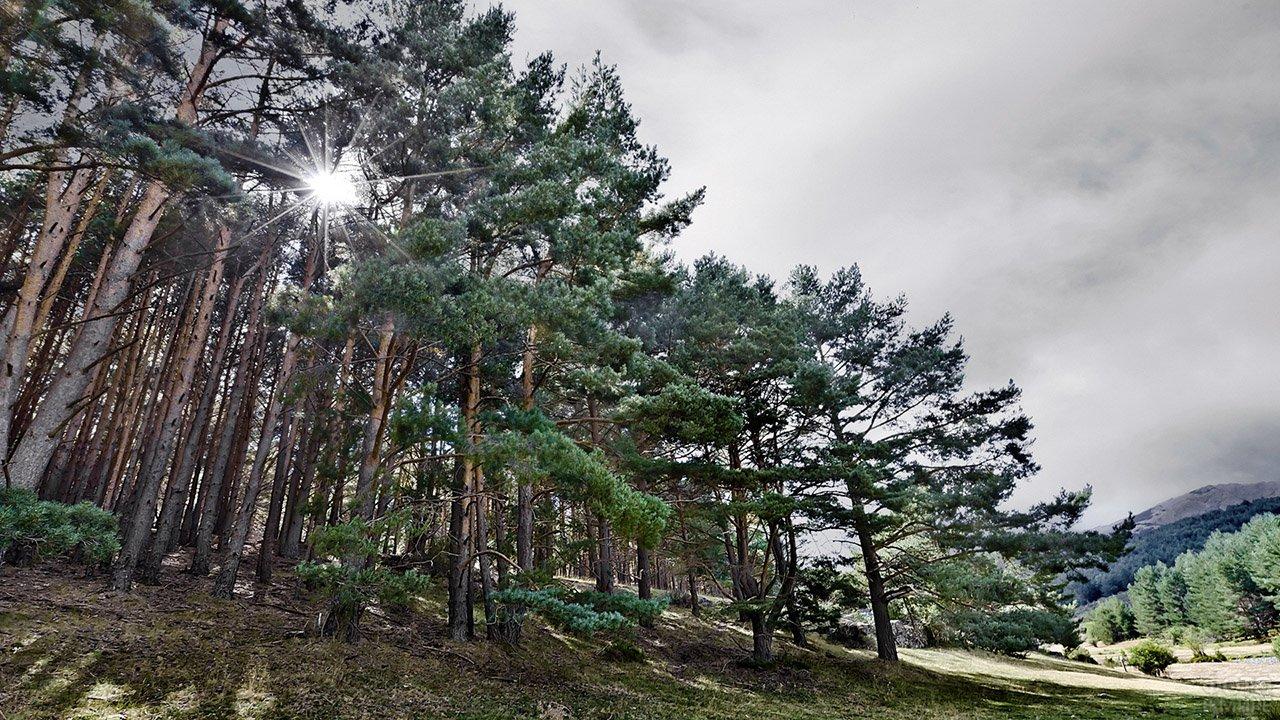 Солнце пробивается сквозь верхушки сосен в лесу в горах