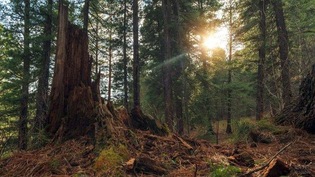 Утро в вечнозелёном сибирском лесу