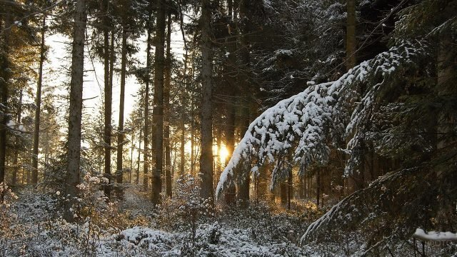 Заснеженная ветка ели в утреннем сосновом лесу