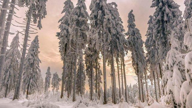 Заснеженный дремучий лес на закате
