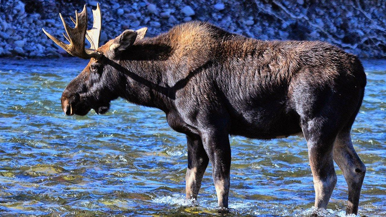 Лось стоит в синей воде ручья