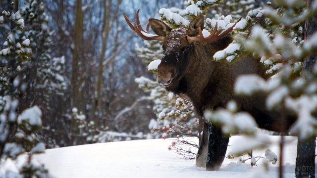 Лось выглядывет из-за заснеженной ветки в зимнем лесу