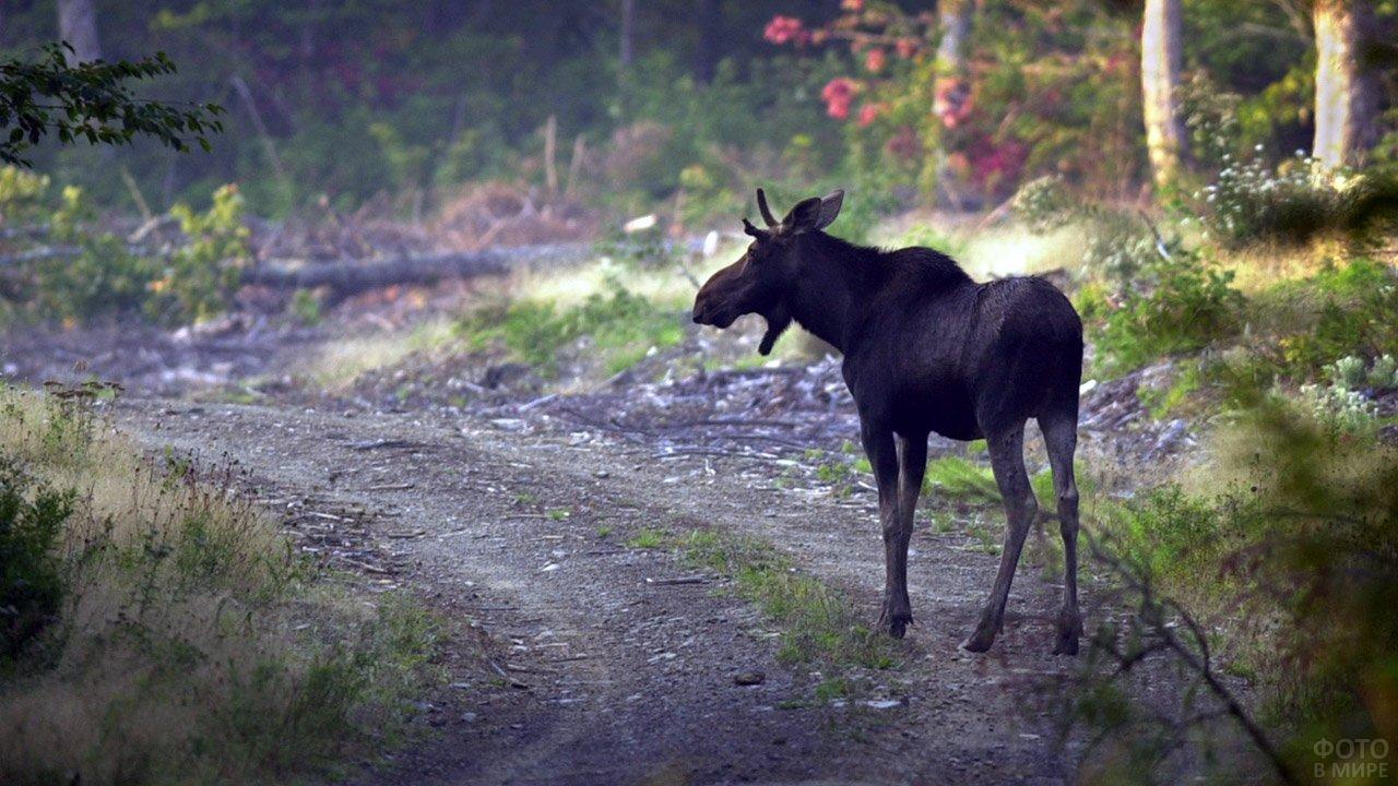 Молодой лось на лесной дороге