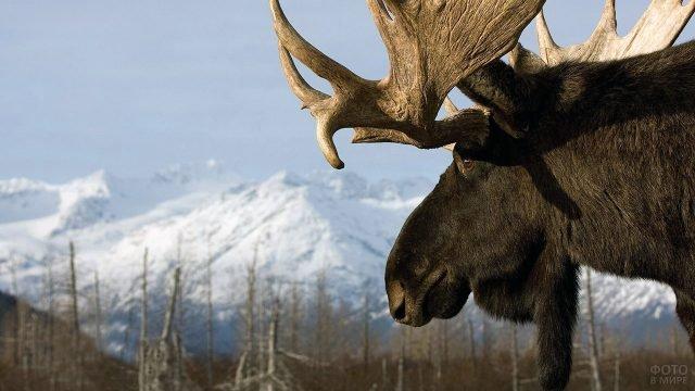 Портрет лося на фоне снежных горных вершин