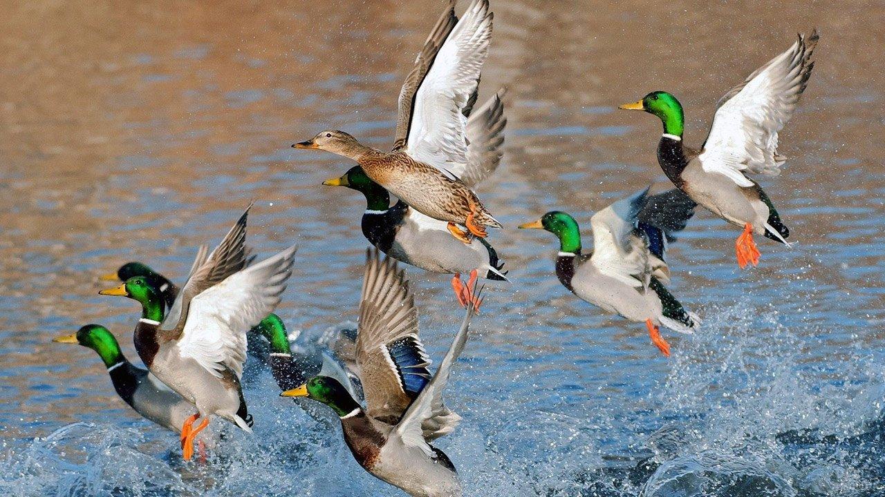 Поднимающиеся с воды утки и селезни