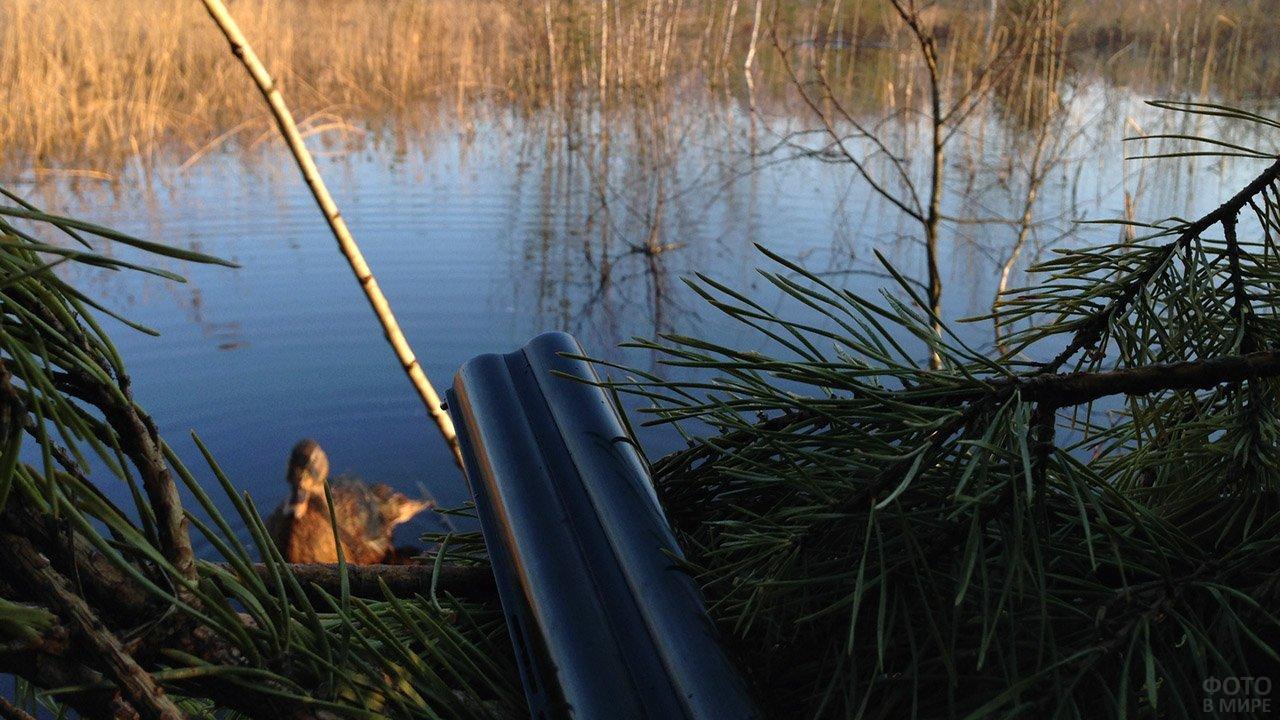 Подсадная утка и дуло ружья на открытии весенней охоты
