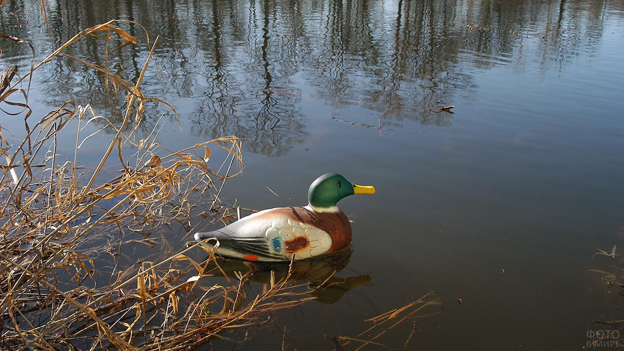 Самонадувное чучело селезня кряквы на воде озера