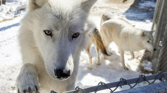 Арктический волк в зимнем зоопарке заинтересовался камерой