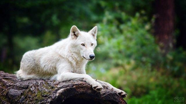 Белый мельвильский островной волк лежит на бревне в зелёном лесу