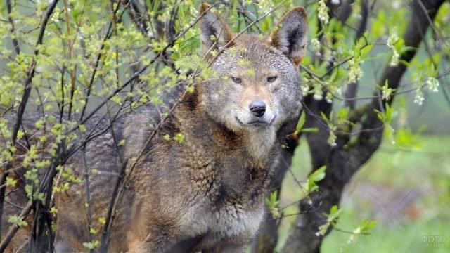 Бурый волк среди весенней зелени