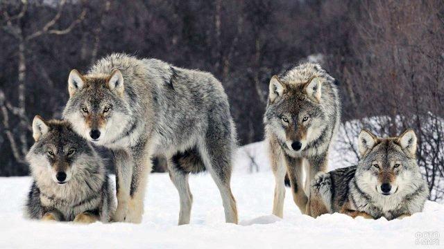 Четыре серых волка в зимнем лесу