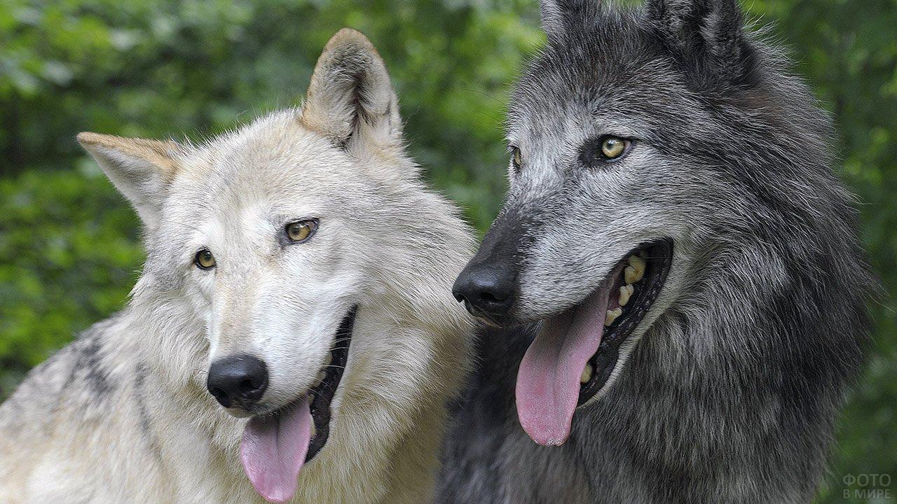 Два североамериканских волка крупным планом