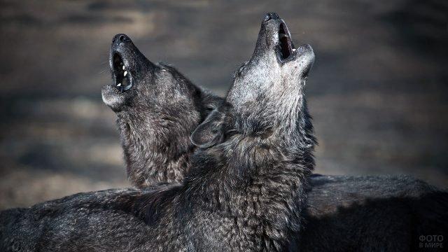 Два воющих волка крупным планом