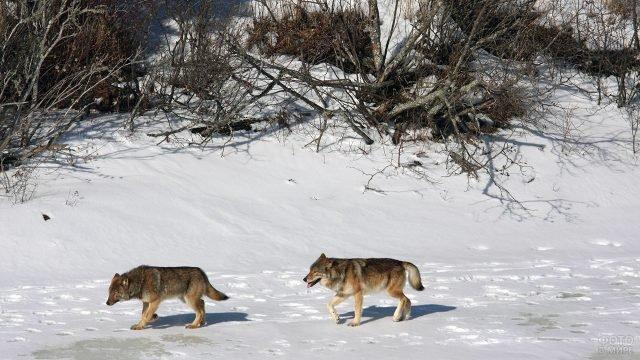 Два волка бредут по снегу в Национальном парке