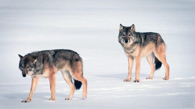 Два волка идут по насту