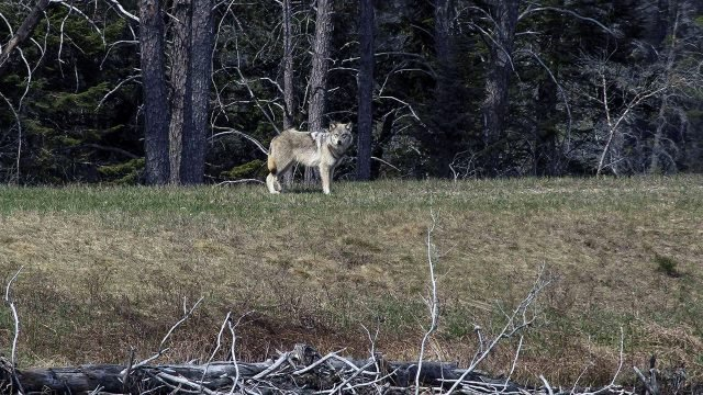 Матёрый волк на опушке старого леса