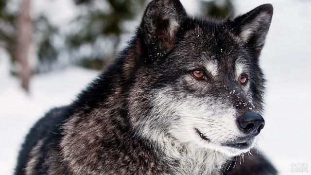 Морда волка с тёмной шкурой на фоне белого снега