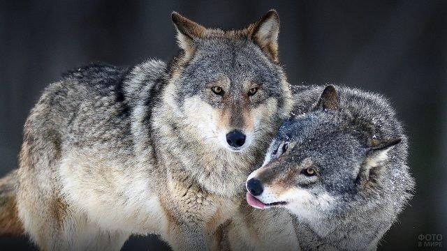 Пара волков играют в снегу