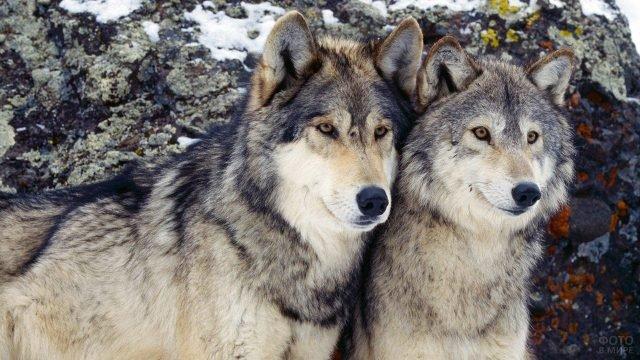 Пара волков смотрят вдаль на фоне заснеженной скалы