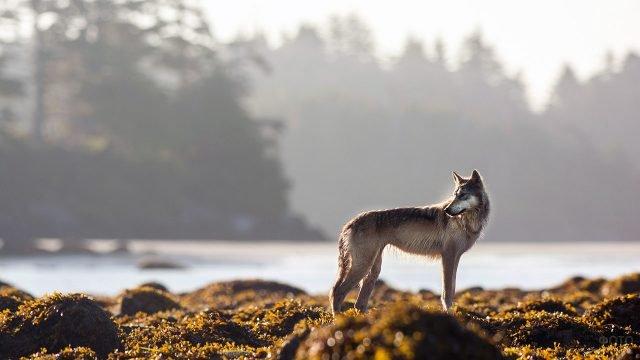 Поджарый волк на фоне лесной реки ранним утром