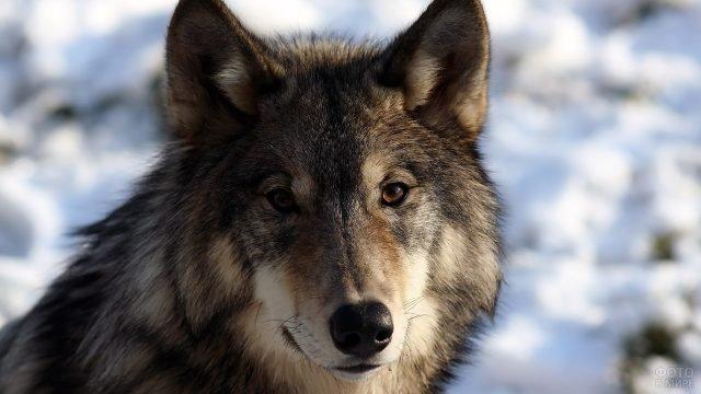 Портрет крупного волка на фоне снега