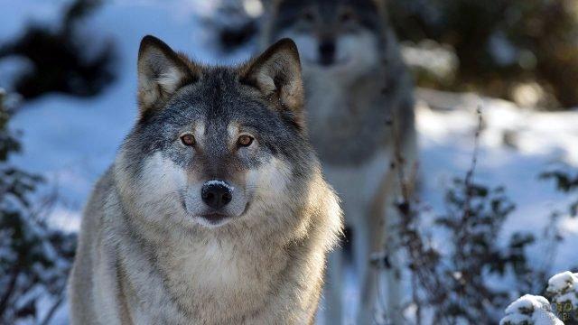 Портрет волка анфас со снегом на носу на фоне зимнего леса
