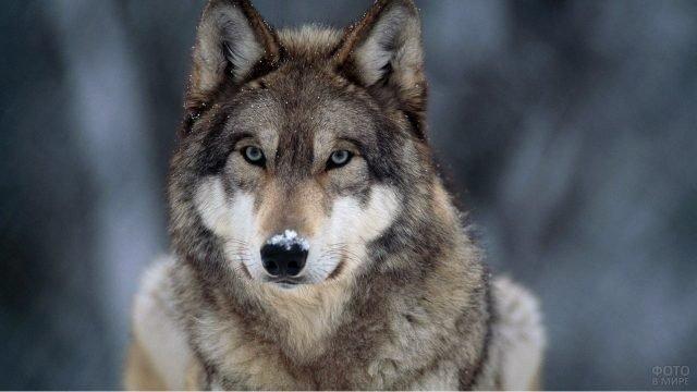 Портрет волка со снегом на носу