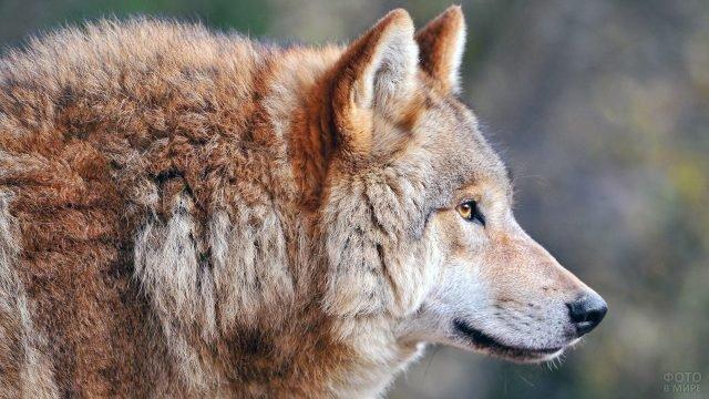 Портрет волка в профиль крупным планом